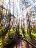 Beautiful morning in the Crooked Forest. Royalty Free Stock Images