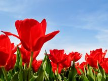 Beautiful morning and field of red poppies Stock Photos