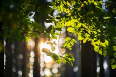 Beautiful morning in the forest. Sun beams shining through the branch of an oak tree royalty free stock images