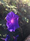 Beautiful morning glory purple flower cinque terre stock photography