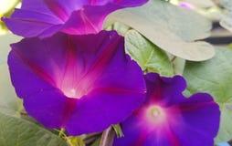 Beautiful morning glorys royalty free stock image