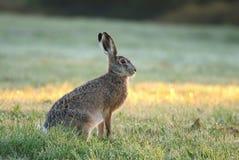 Beautiful morning hare Stock Image