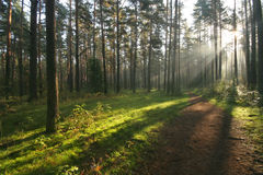Beautiful morning light. In the misty forest royalty free stock photo