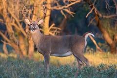 Beautiful morning light on whitetail buck. Whitetail buck in morning light Stock Photography