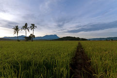 Beautiful morning at paddy field, old hut with trees on background mount kinabalu. Royalty Free Stock Photography