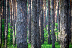 Beautiful morning pine forest Royalty Free Stock Photography