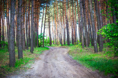 Beautiful morning pine forest Stock Photography