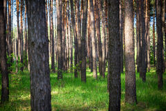 Beautiful morning pine forest Royalty Free Stock Images