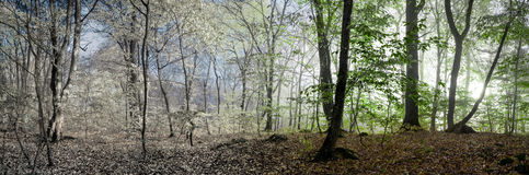 Beautiful morning scene in the forest,  panorama changing season Stock Photography