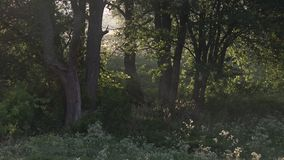 Beautiful morning scenery in the forest, with the sun casting sun rays of light through the mist and tree branches.  stock footage