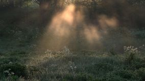 Beautiful morning scenery in the forest, with the sun casting sun rays of light through the mist and tree branches.  stock video