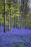 Beautiful morning in Spring bluebell forest with sun beams throu Royalty Free Stock Photography