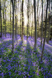 Beautiful morning in Spring bluebell forest with sun beams throu Royalty Free Stock Photo
