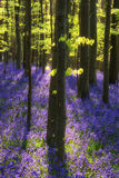 Beautiful morning in Spring bluebell forest with sun beams throu Royalty Free Stock Images