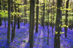 Beautiful morning in Spring bluebell forest with sun beams throu Stock Photography