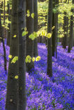 Beautiful morning in Spring bluebell forest with sun beams throu Royalty Free Stock Image
