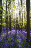 Beautiful morning in Spring bluebell forest with sun beams throu Royalty Free Stock Photos