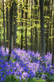Beautiful morning in Spring bluebell forest with sun beams through trees stock photography