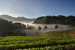 Beautiful morning at strawberries field Royalty Free Stock Photos