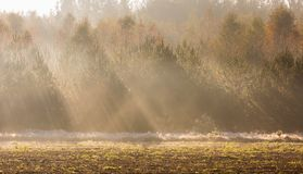 Beautiful morning with sunbeams and young forest. Autumnal landscape. Royalty Free Stock Images