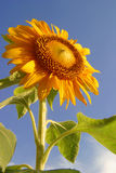 A beautiful morning, Sunflower & blue sky. A beautiful opened sunflower facing the sky. Blue sky, orange/yellow flower and leaves & stem Stock Photography