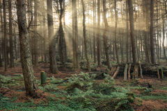 Beautiful Morning Sunlight Beaming Through Woodland Forest Trees. Stock Photography