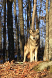 Beautiful morning sunlit timber wolf. Timber wolf standing in sunny spot in forest Royalty Free Stock Image