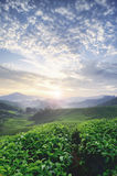 Beautiful morning during sunrise at tea farm. green tea tree. stunning layer of the hill and dramatic clouds Stock Images