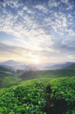 Beautiful morning during sunrise at tea farm. green tea tree. stunning layer of the hill and dramatic clouds with blue sky Royalty Free Stock Image