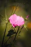 Beautiful morningglory. Stock Images