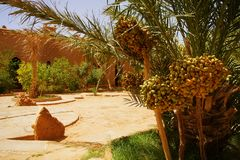A beautiful moroccan garden with date palm trees with riping dat Royalty Free Stock Image