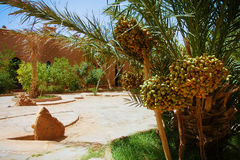 A beautiful moroccan garden with date palm trees with riping dat Stock Photos