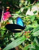 Bright blue Morpho butterfly on red flowers royalty free stock photo