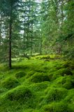 Wood deep moss in the forest. Green moss in the Carpathians. stock images