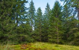 Wood deep moss in the forest. Green moss in the Carpathians. Royalty Free Stock Photo