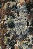 Gray green lichen and moss dry grass on the ground, lighted by the dawn of the sun Royalty Free Stock Images
