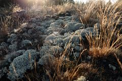 Gray green lichen and moss dry grass on the ground, lighted by the dawn of the sun Royalty Free Stock Image