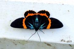 Beautiful moth Milionia basalis Stock Image