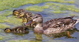 Beautiful mother-duck with the chicks. In the lake Royalty Free Stock Photography
