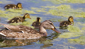 Beautiful mother-duck and her chicks are eating. The algae together Stock Photography