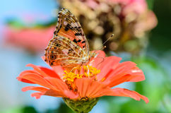 Beautiful motley butterfly collects nectar on a bud flower. Beautiful motley butterfly collects nectar on a bud of orange flower Royalty Free Stock Photography