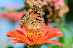 Beautiful motley butterfly collects nectar on a bud flower. Beautiful motley butterfly collects nectar on a bud of orange flower Royalty Free Stock Image