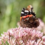 Beautiful motley butterfly sits on a pink flower. Beautiful bright motley butterfly collects pollen on a fluffy pink flower royalty free stock image