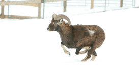 Beautiful moufflon running in winter Royalty Free Stock Photo
