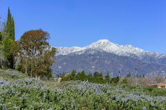 Beautiful Mount Baldy view from Rancho Cucamonga. Beautiful snowy Mount Baldy with some blue flowers below, view from Rancho Cucamonga Royalty Free Stock Photography