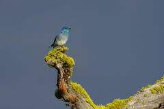 Mountain Bluebird Guarding Nest Hole stock photos