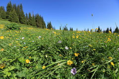 Beautiful mountain forest and flowers on meadow Royalty Free Stock Images