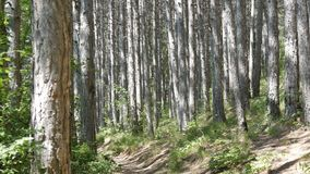 Beautiful mountain forest. Smooth trunks of pine trees in the mountains. A beautiful mountain forest. Smooth trunks of pine trees in the mountains stock video