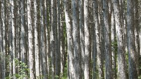 Beautiful mountain forest. Smooth trunks of pine trees in the mountains. A beautiful mountain forest. Smooth trunks of pine trees in the mountains stock footage
