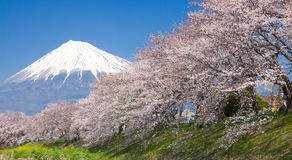 Beautiful Mountain Fuji and sakura cherry blossom stock image